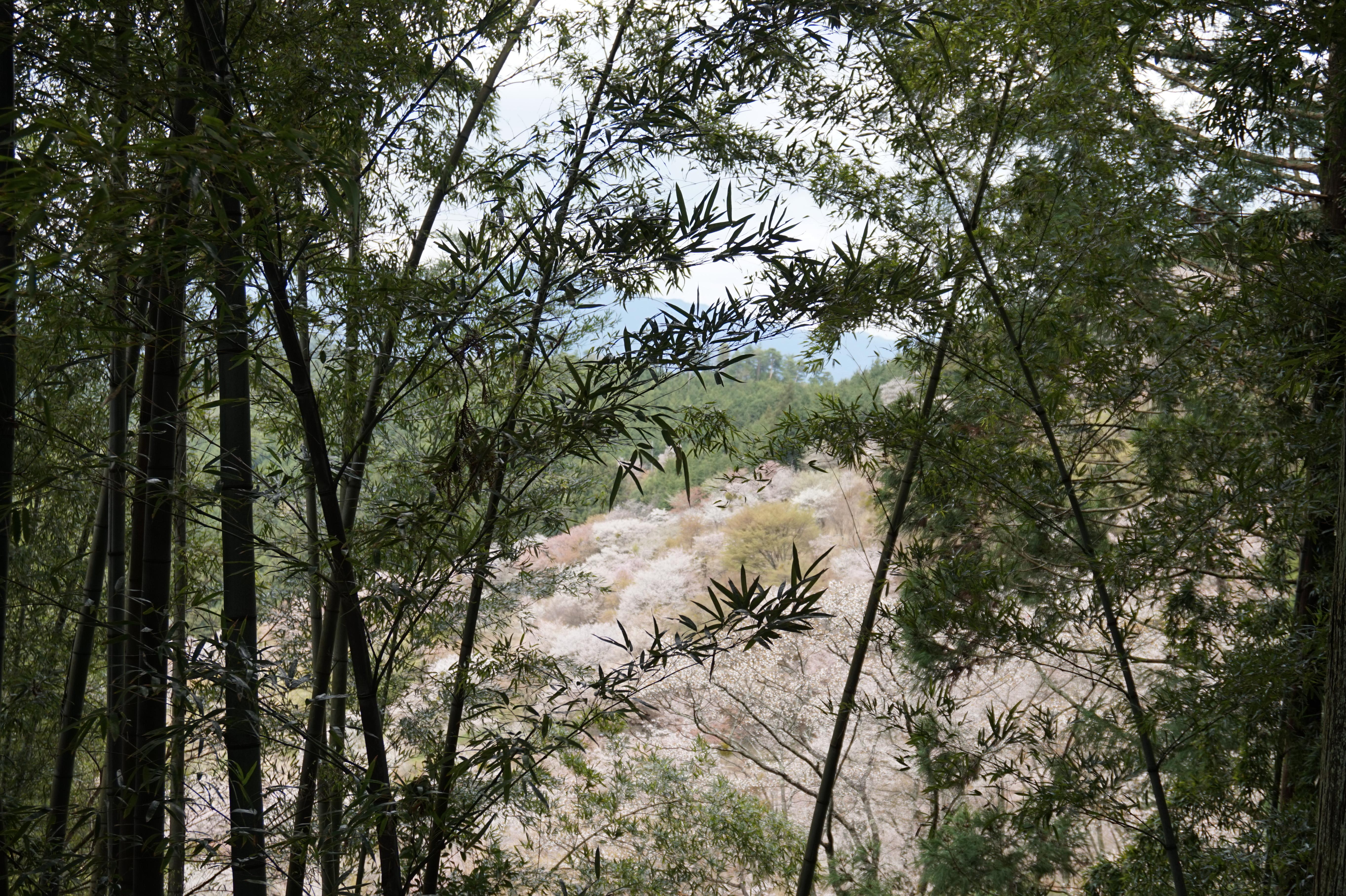 吉野桜と竹林